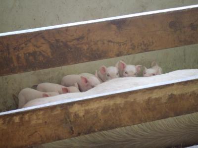 生まれて1週間の子豚