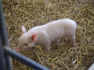可愛い子豚
