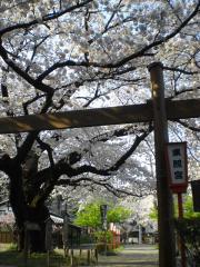 _090406_世良田東照宮桜 (2)