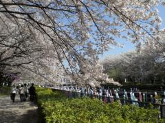 090410_館林桜 (5)