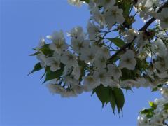 _090410_館林桜 (20)
