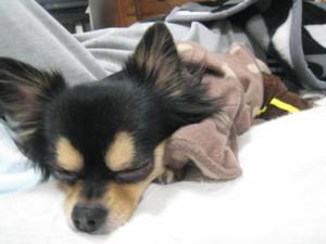 0101 022 マロンはパパのお布団で寝る
