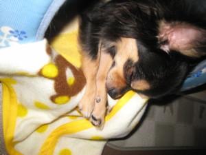 0103 001 可愛い姿で寝るマロン