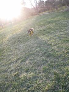 0414 006 珍しく芝生を走るマロン