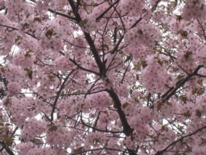 0429 010 桜の木