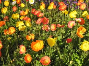 0513 009 大通り公園のお花