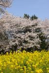 20090408_sakura_10.jpg