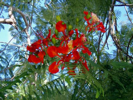フレームツリー(火炎樹)