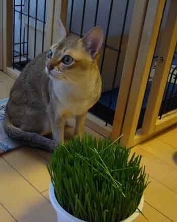 猫草むしゃり