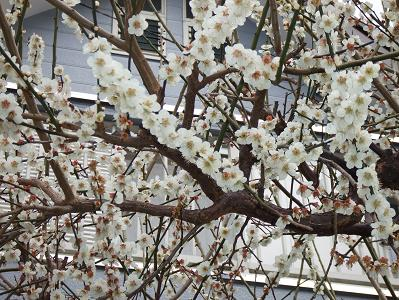 2008_03113月11日 散歩と花とチャチャ0010