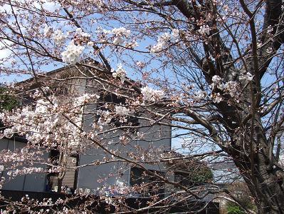 25日桜1