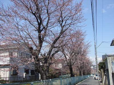25日桜3