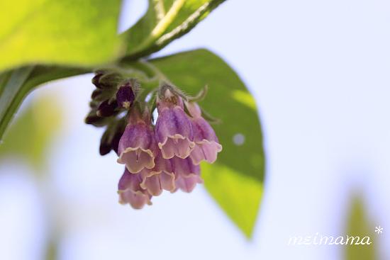 コンフリーの花