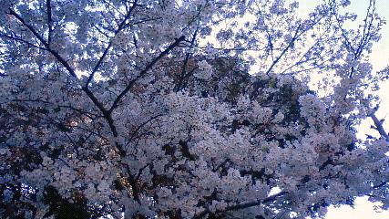 目白桜 満開
