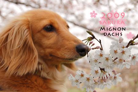 SAKURA2009-mignon_20090404.jpg