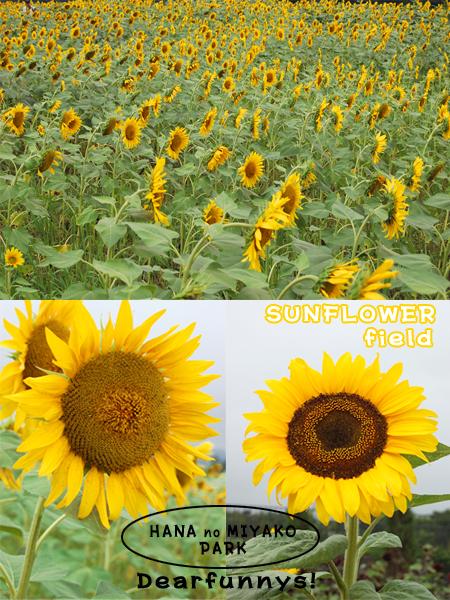SunFlower1_20080822.jpg