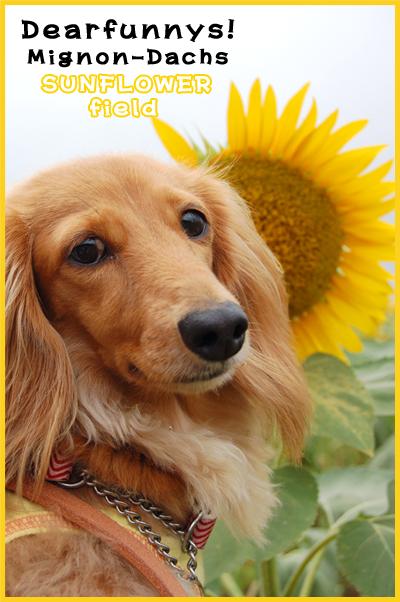 SunFlower2_20080822.jpg
