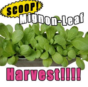 mignon-leaf_20090308.jpg