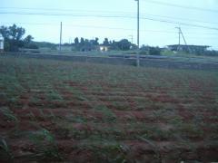 裏のキビ畑