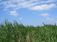 サトウキビ畑と広い空