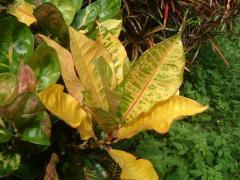 黄色く紅葉
