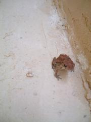ざわわのカエル