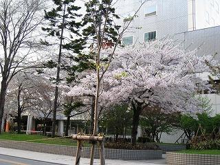 0504桜