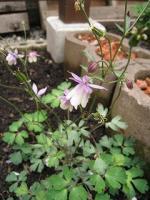 0601風鈴オダマキ紫&白