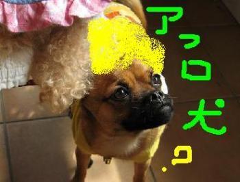 アフロ犬だぁ~