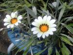 町で見かけた花シリーズhana09241