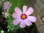 町で見かけた花シリーズhana09244