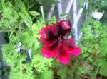 町で見かけた花シリーズhana09248