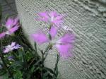 町で見かけた花シリーズhana09284