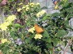 蝶々091013