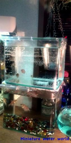 チョコグラガラス水槽