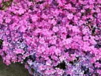 ご近所の花3