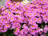 ご近所の花4