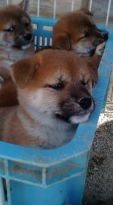 柴犬の赤ちゃん