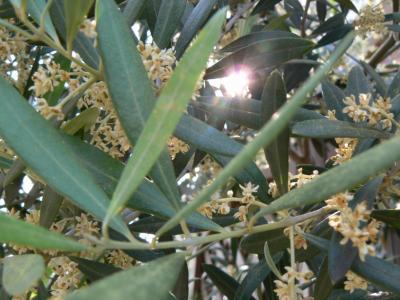 オリーブの花2