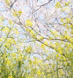 菜の花と桜の中