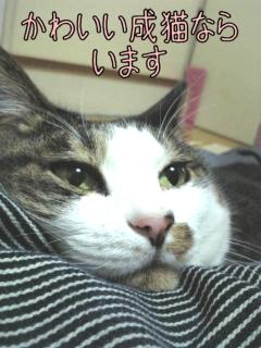 かわいい成猫