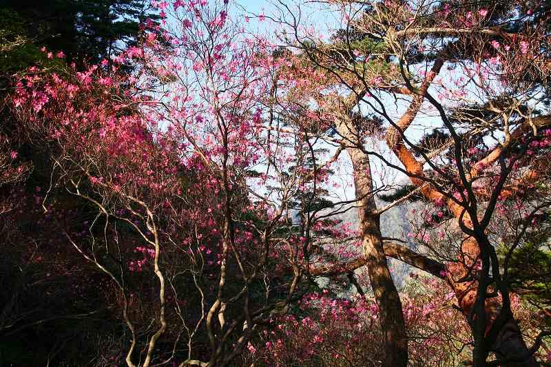 s-傾山山開杉ケ越20090429 022