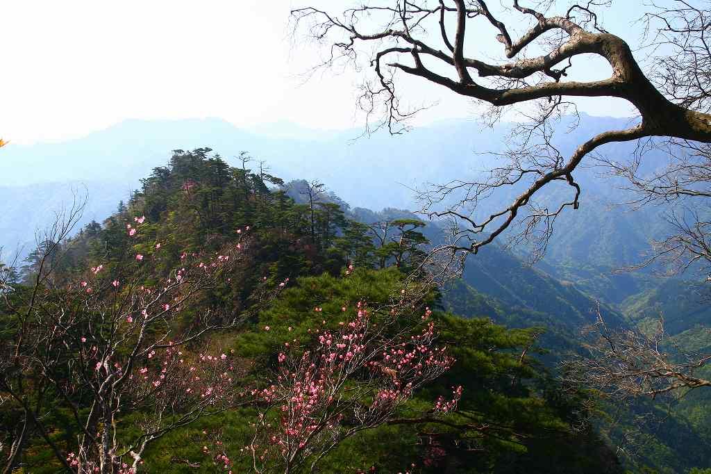s-傾山山開杉ケ越20090429 028