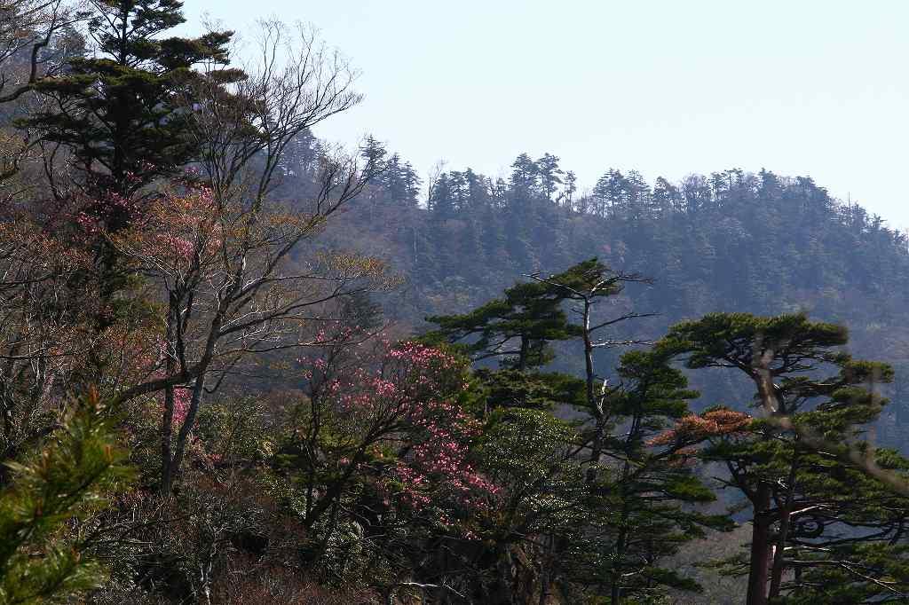 s-傾山山開杉ケ越20090429 030