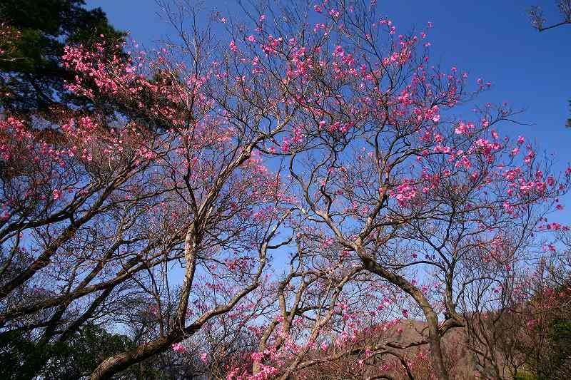 s-傾山山開杉ケ越20090429 044