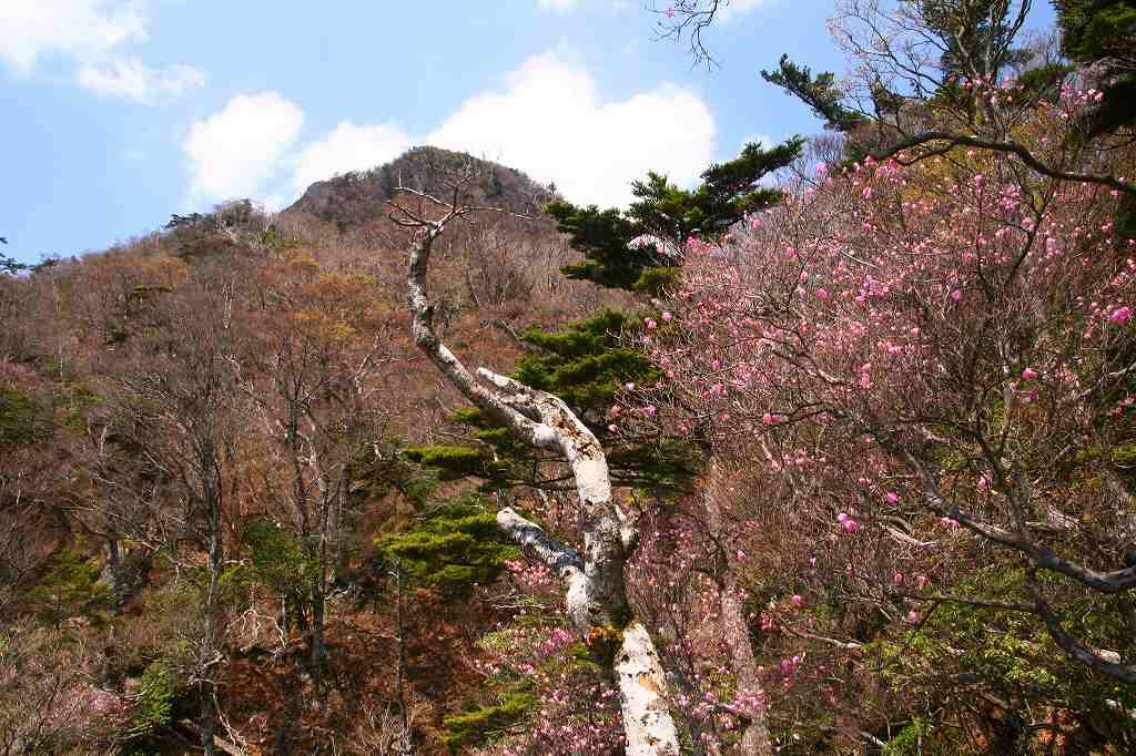 s-傾山山開杉ケ越20090429 138