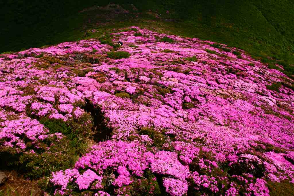 s-平治岳ミヤマ20090531-2 022