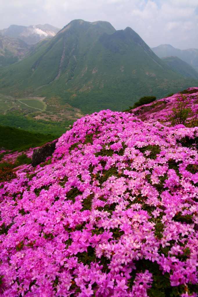 s-平治岳ミヤマ20090531 101