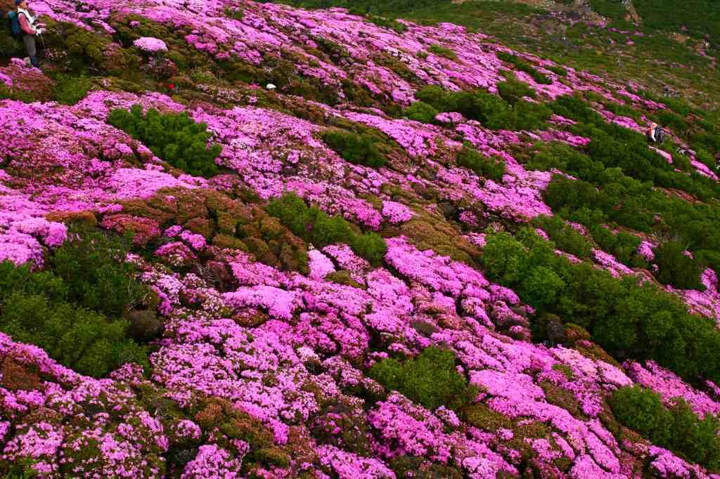 s-平治岳ミヤマ20090531 161