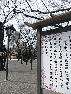 靖国桜 (2)
